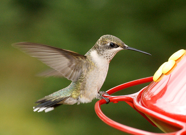 September 7, 2008 Ruby-Throated Hummingbirds
