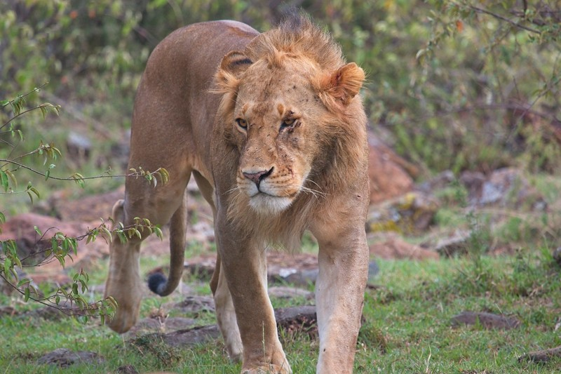 Lion, Naboisho Conservancy