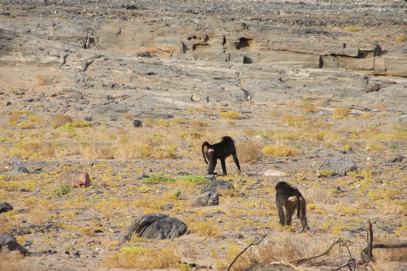 Chacma Baboons outside of our room
