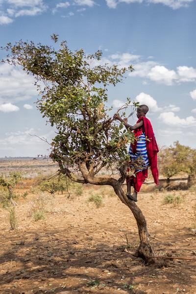 Maasai Chopping Branches - Tanzania