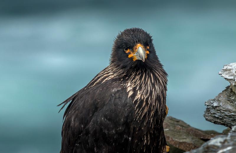 Striated caracara, Sea Lion Island, Falklands