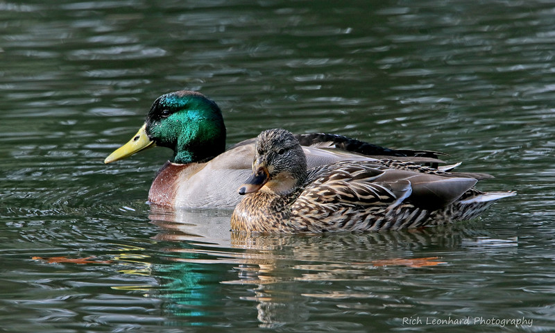 Pair of Mallard Ducks at Clark Botanic Garden.
