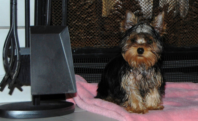 031 Yorkshire Terrier at 18 weeks.jpg