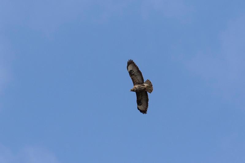 buizerd, common buzzard