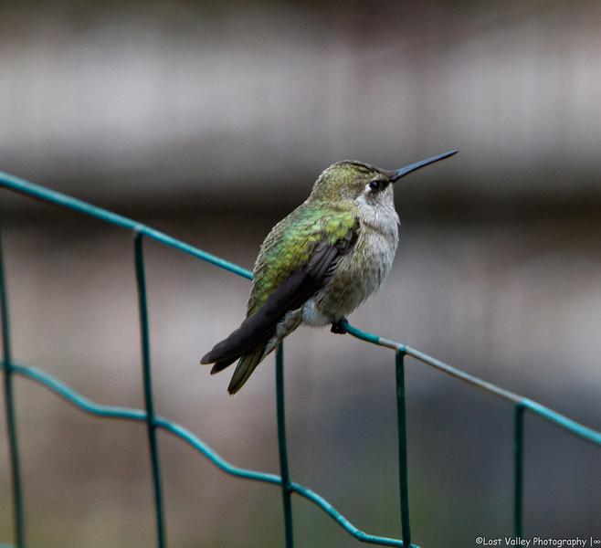 Hummingbird-1728.jpg