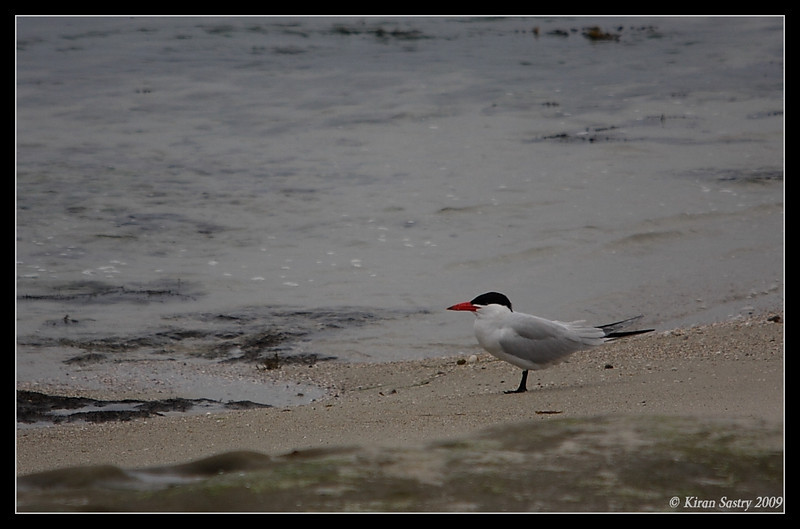 Caspian Tern, La Jolla Cove, San Diego County, California, May 2009