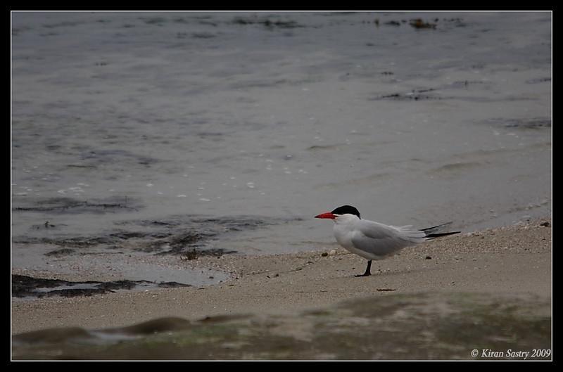 Caspian Tern, La Jolla Cove, San Diego County, California, May 2009