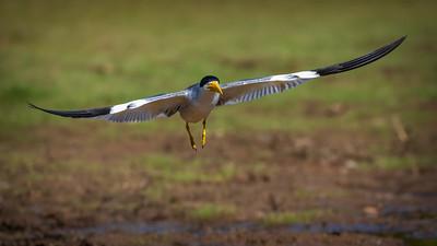 Water Birds of South Pantanal