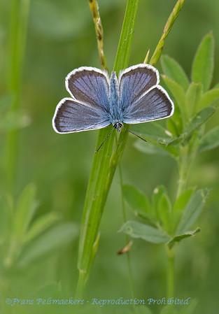 Heideblauwtje; Plebejus argus; Silverstudded blue; Azuré de l'ajonc; GeißkleeBläuling