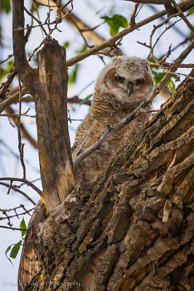 A Great Horned owlet in Fish Creek Park.