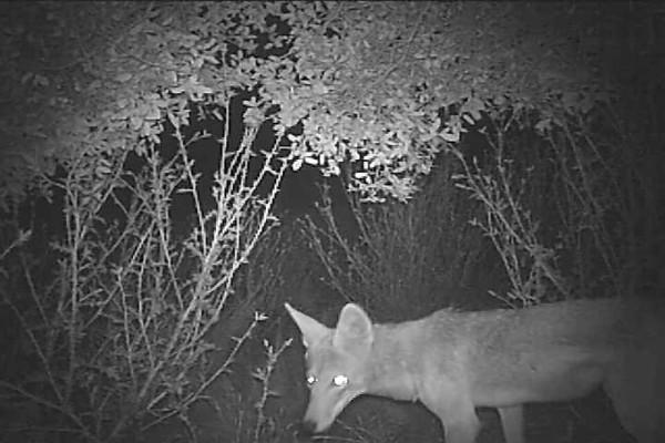 Coyote.AVI
