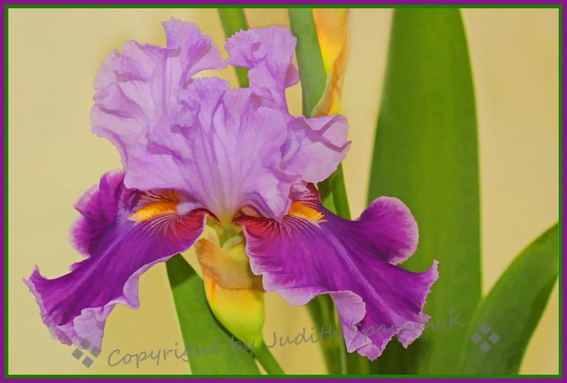 Iris Bloomin' Bright