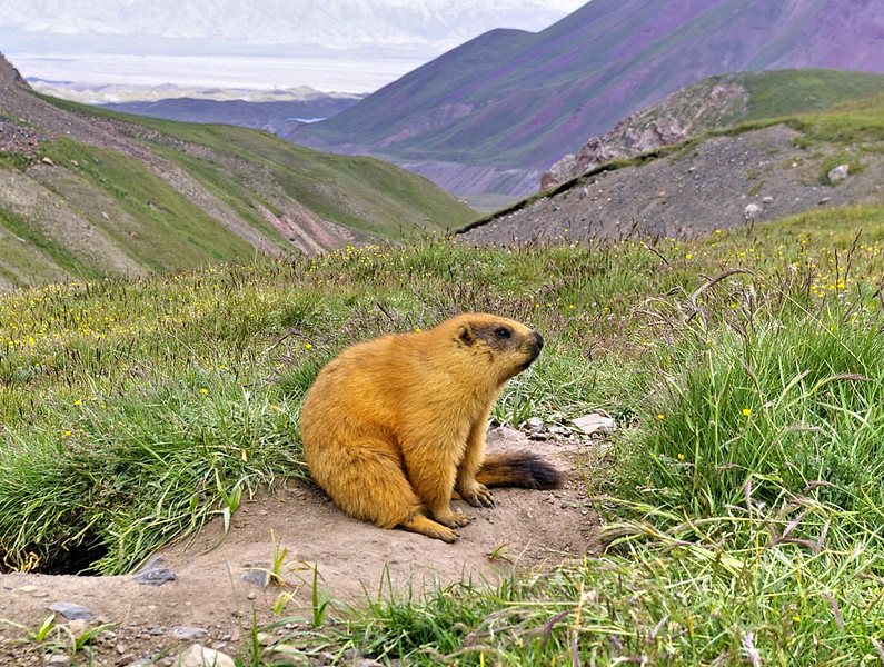 July 12th Weather forecast for the summit was bad for a few days and with Slovak Peter I decided to visit Tashkurgan farther south on Karakoram Highway. Not much animals around. I have seen only a lot of screeching marmots.
