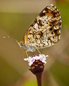 _DSC2131_butterfly