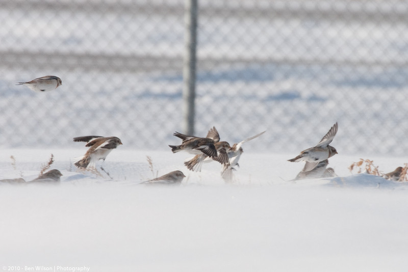 Snow Bunting @ airport
