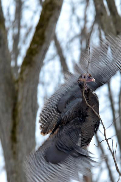 typical bad turkey flying