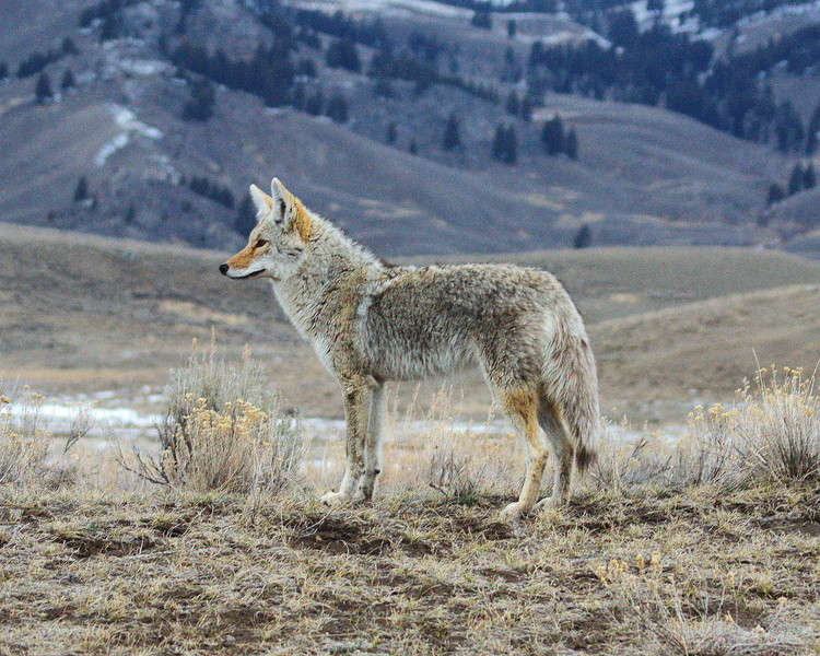 Coyote, Little America, Yellowstone 2.jpg
