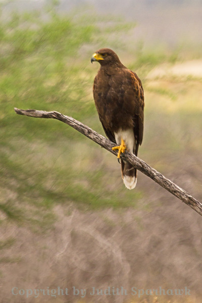 Harris's Hawk ~ Photographed in south Texas.