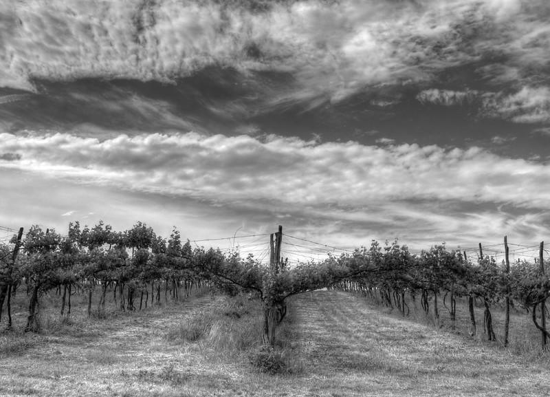 Vineyard - Albinea, Reggio Emilia, Italy - 15 Maggio 2011