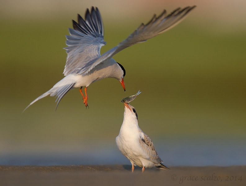 Common tern feeding chick_O8U3949-Edit-Edit.jpg