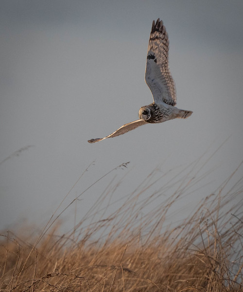 Short-eared Owl one high wing
