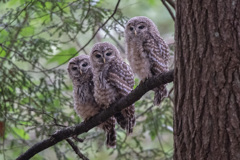 #1673 Barred Owlets