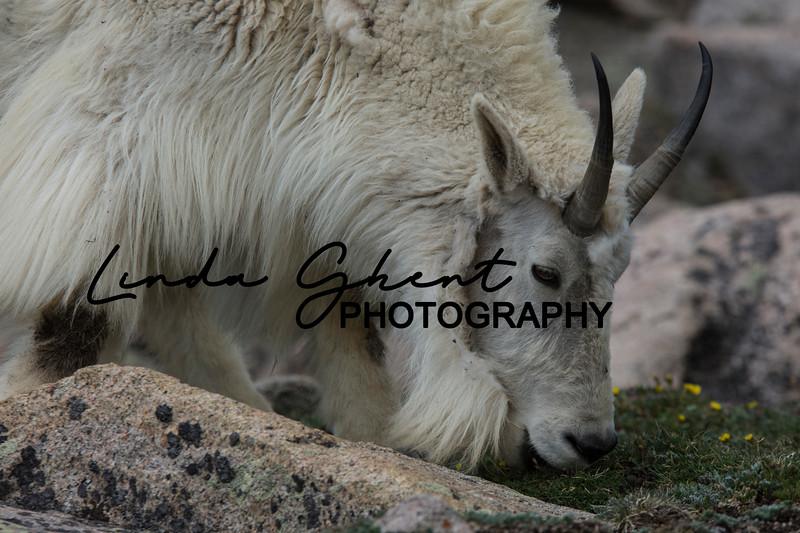 Mount Evans Mountain Goats #19