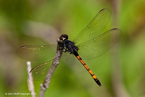 Odonata Dragonflies and Damselflies