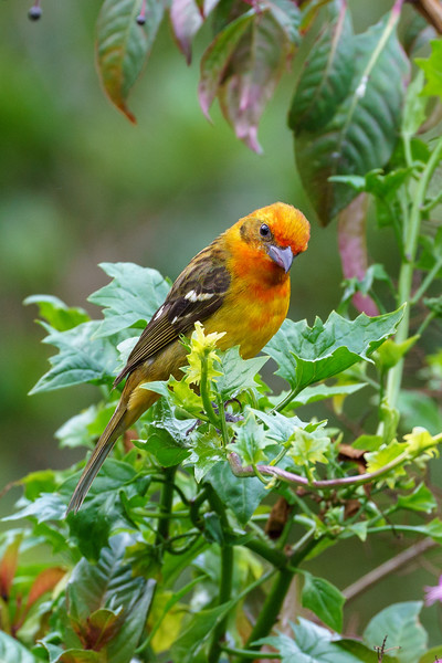 Flame-colored Tanager (Male)
