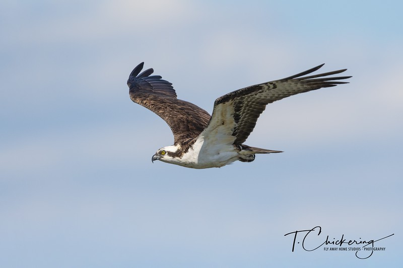 Osprey in Flight Eleven.jpg