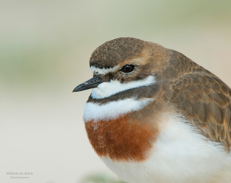 Double-banded Plover, Lake Conjola, NSW, Aug 2013.jpg