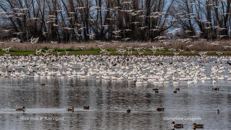 _DSC8799Skien Snow Geese.jpg