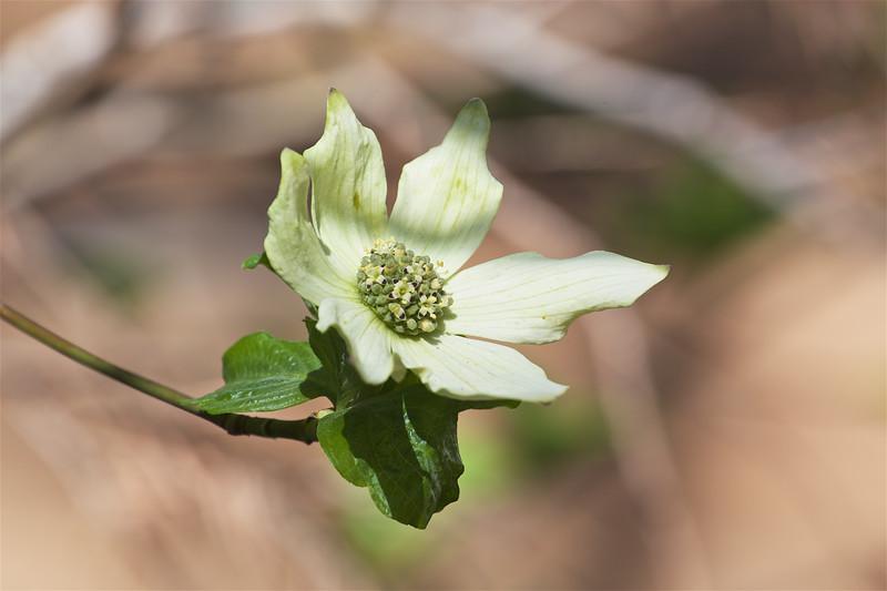 YOS-180426-0009 Dogwood Blossoms 2