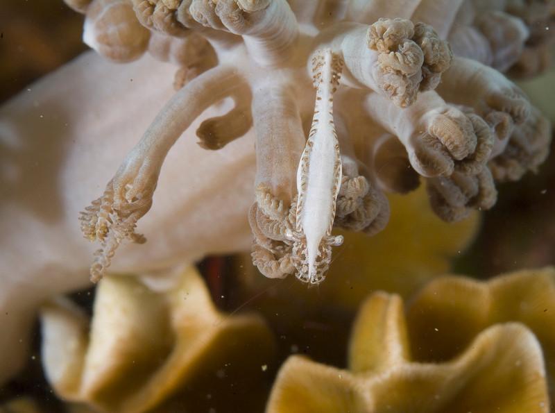 shrimp soft coral0022.jpg