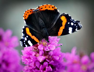 Perhosia jne ,fjärilar...   Butterflys...