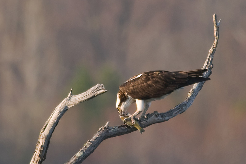 Osprey, Manasquan Reservoir, Howell, NJ.