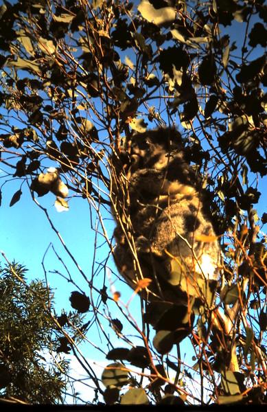 1970-11 (14) Koala in tree @ Epplestuns front gate.JPG