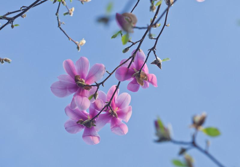Magnolias 13 9268