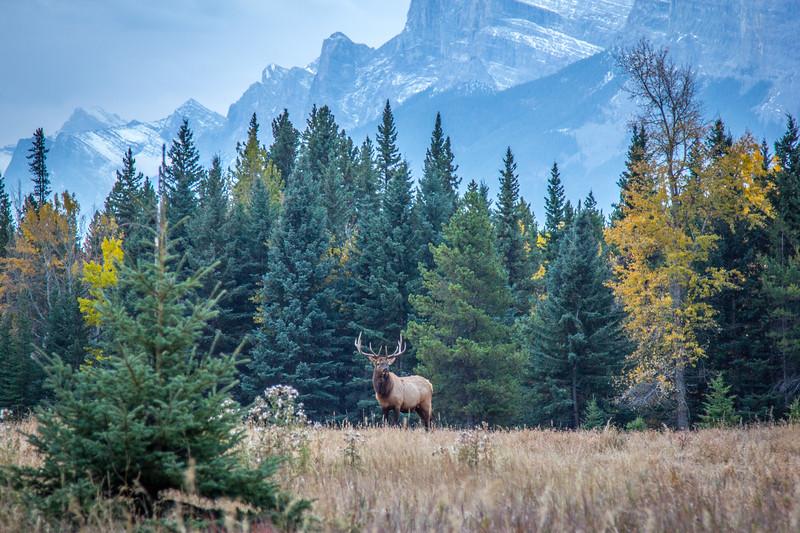 Banff Bull