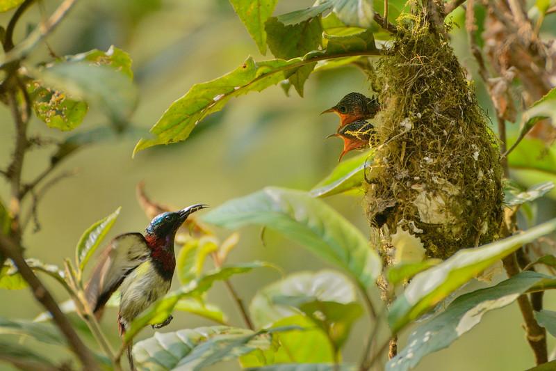Crimson-backed-sunbird-feed-chicks-agumbe.jpg