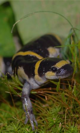 US Salamanders