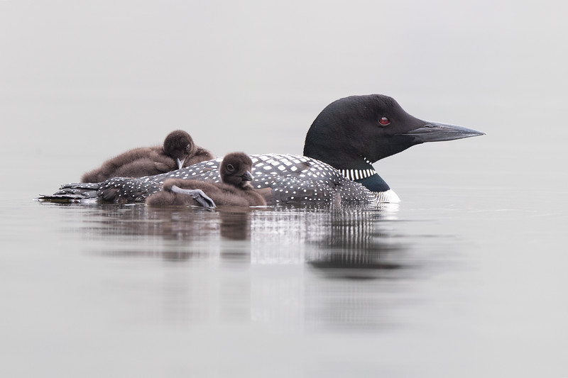 #1466 Common Loon and Chicks