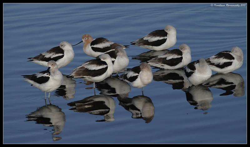 American Avocet, San Elijo Lagoon, San Diego County, California, February 2010