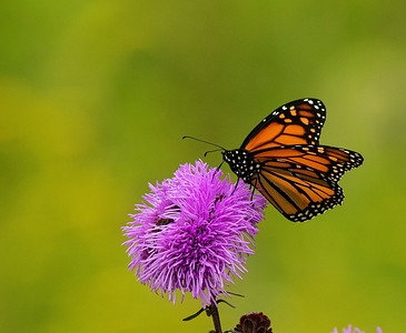 Beginning of the Monarch Migration, 2020