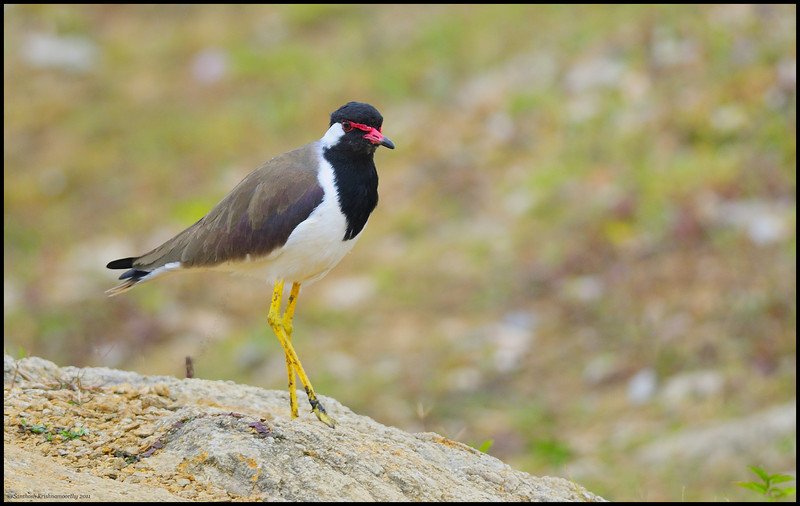 Striking a pose....Red walted lapwing....