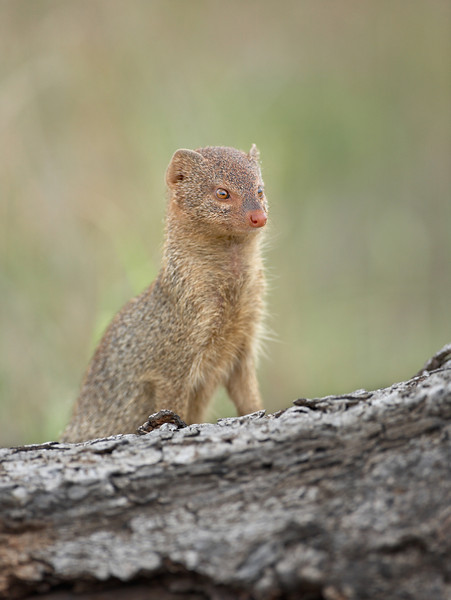 Yellow mongoose - 1145.jpg