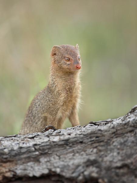 Yellow mongoose - 1145.jpg