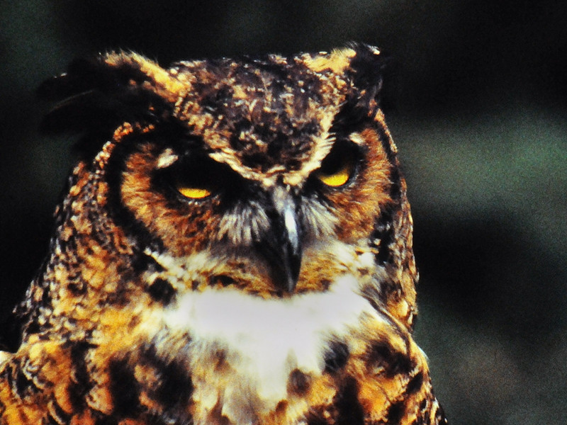 Great Horned Owl.jpg