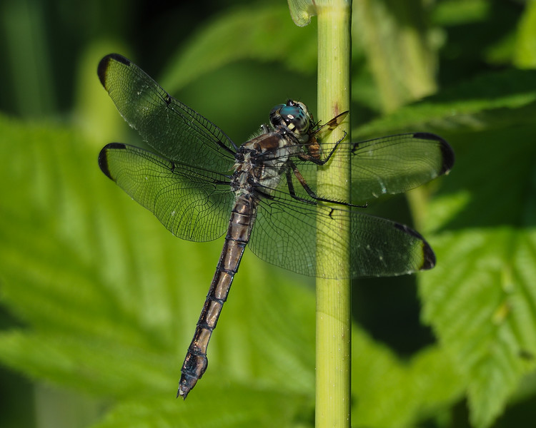 Great Blue Skimmer, immature male