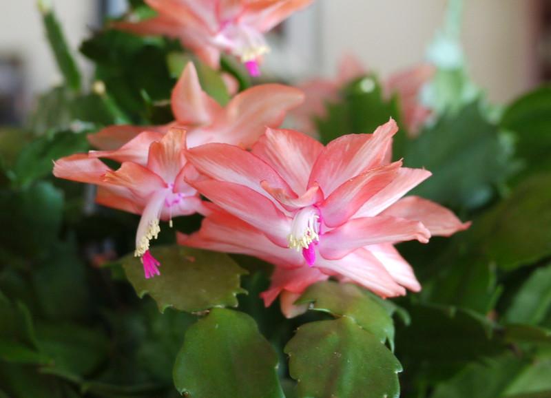 christmas-cactus_4218739071_o.jpg